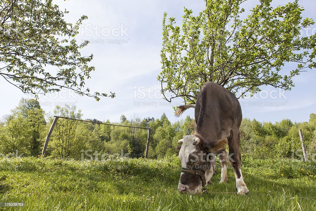 cow in nature royalty-free stock photo