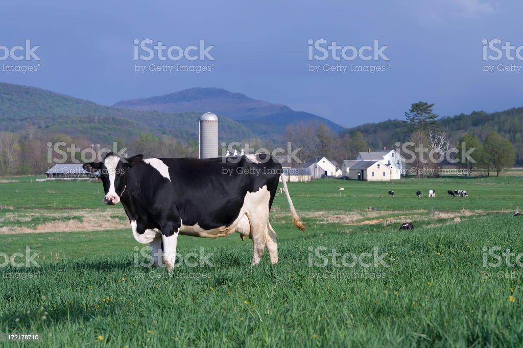 Cow in Rural Setting royalty-free stock photo