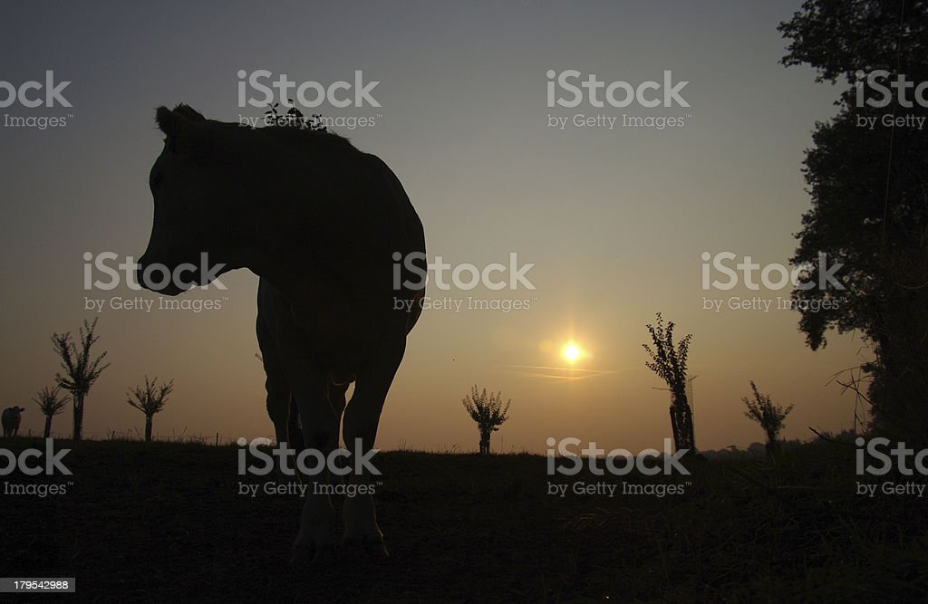 Cow in silhouette at sunrise royalty-free stock photo