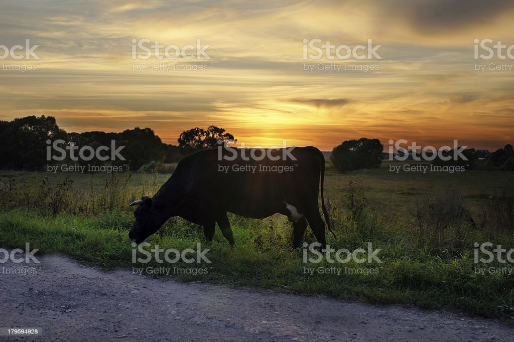 Cow in sunset royalty-free stock photo