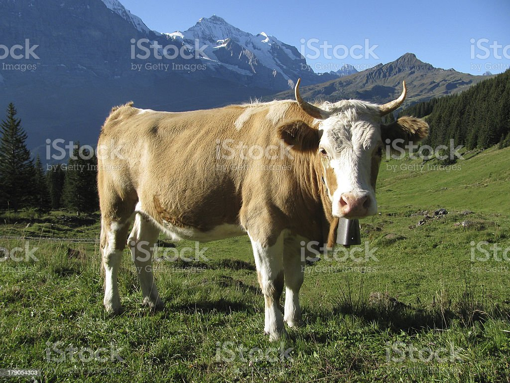 Cow in Swiss alps royalty-free stock photo