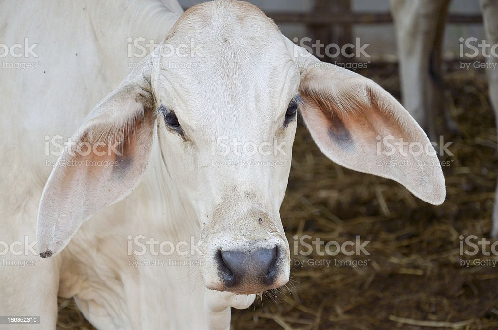 Cow in Thailand royalty-free stock photo