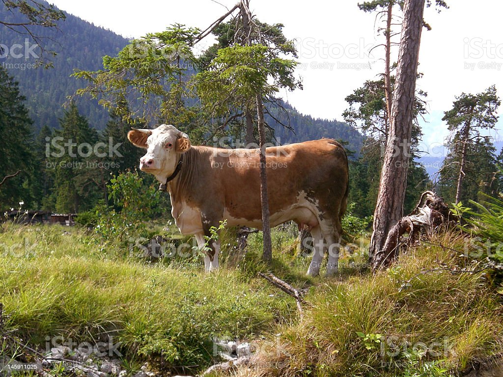 Cow in the bavarian Alps stock photo
