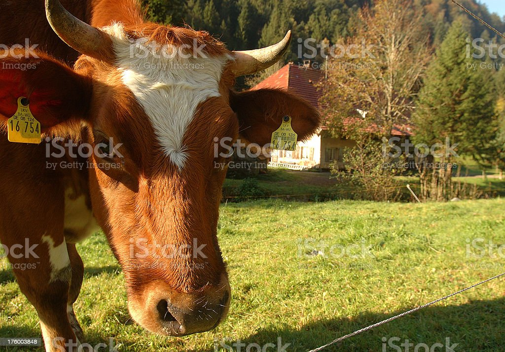 cow in the Black Forest royalty-free stock photo