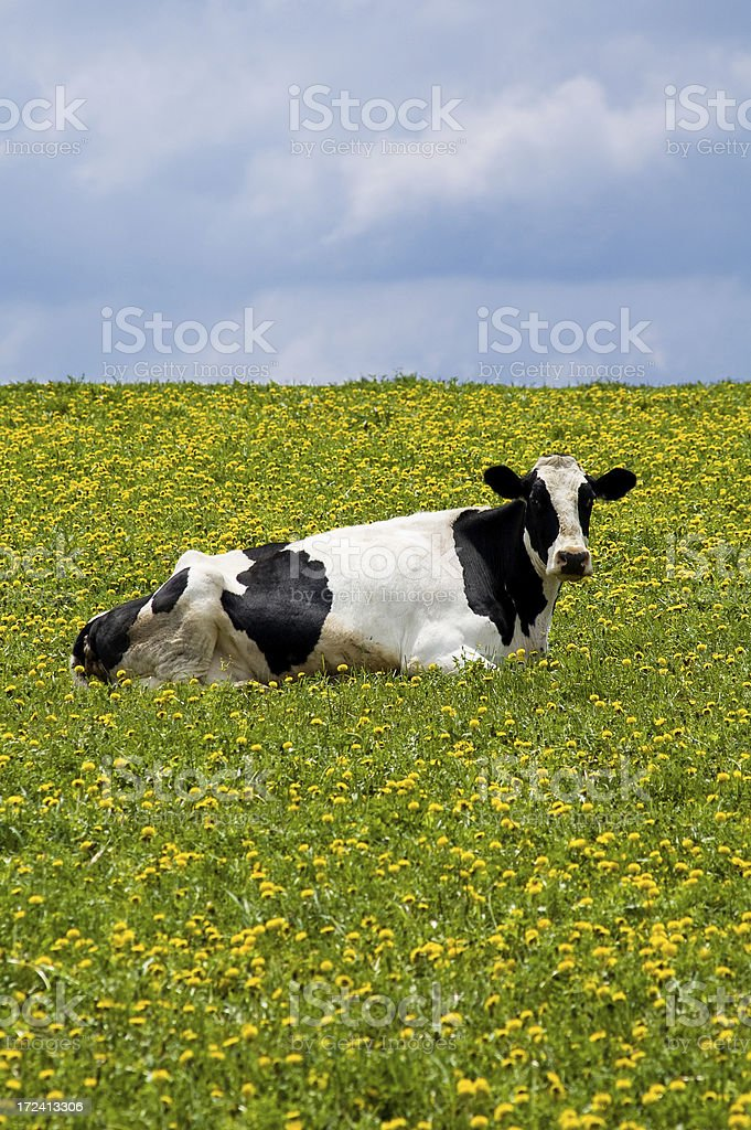 cow in the dandelions royalty-free stock photo