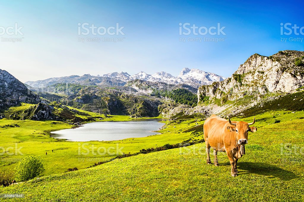 Cow in the Ercina lake (lakes of Covadonga), Asturias, Spain stock photo