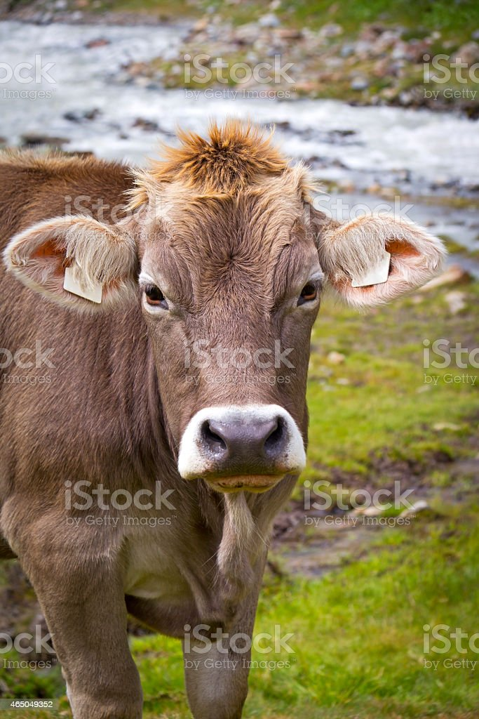 Cow in the European Alps stock photo
