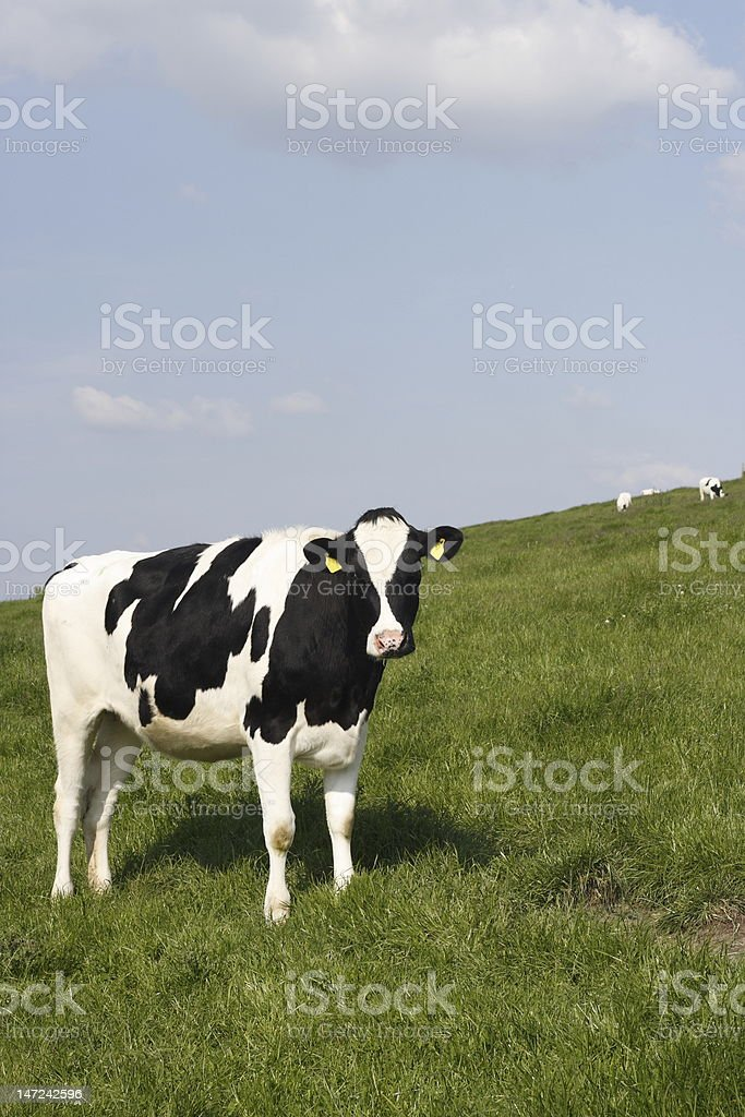 Cow in the evening sun. royalty-free stock photo