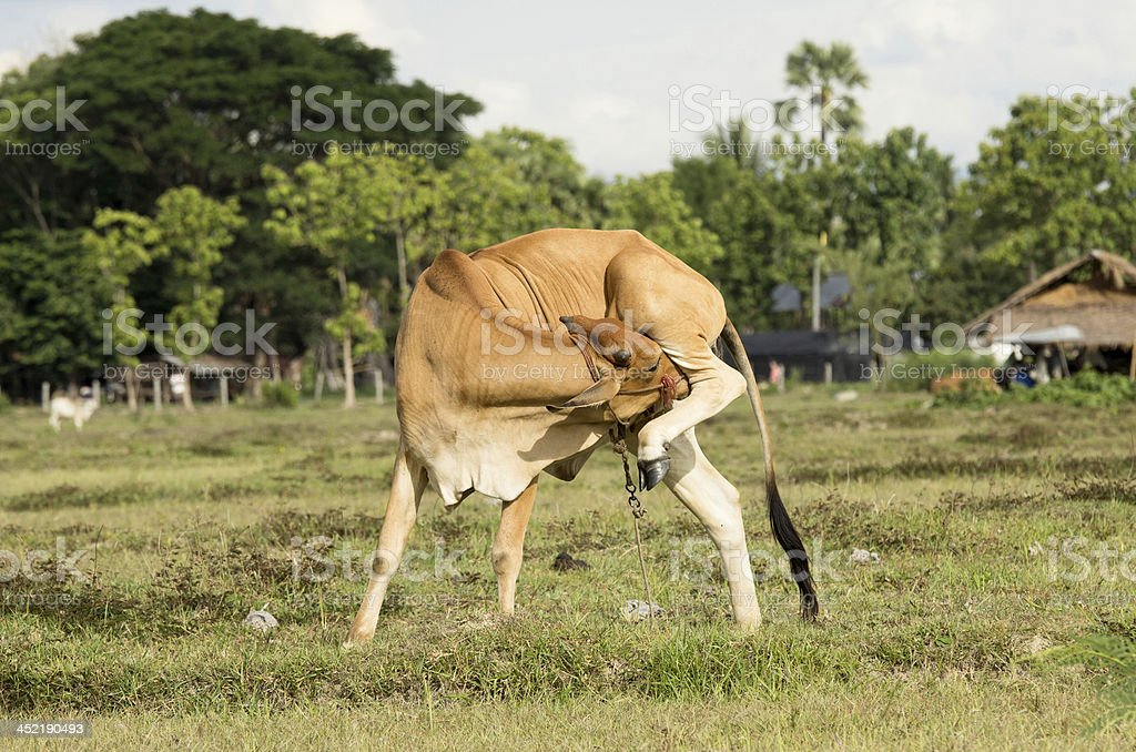 Cow in the field royalty-free stock photo