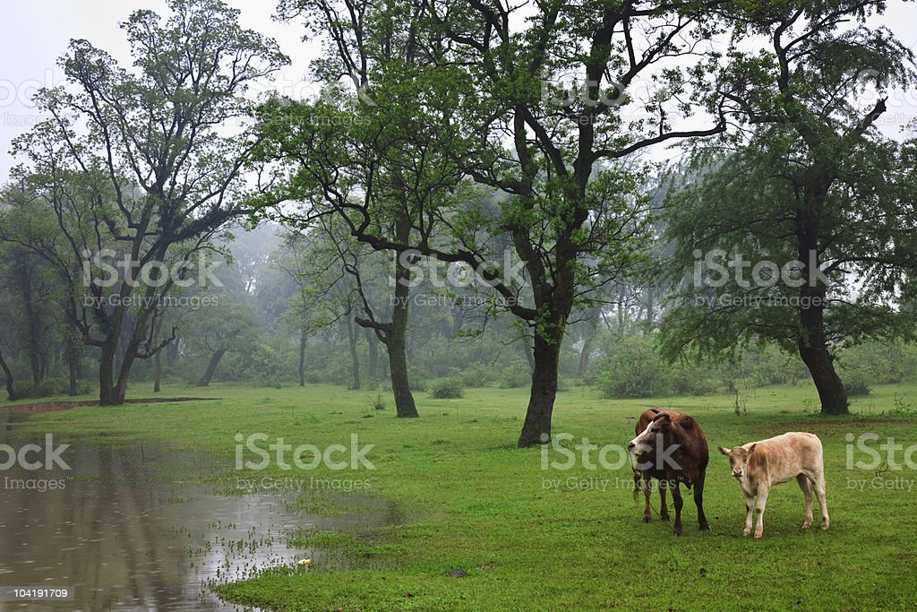 cow in the forest stock photo