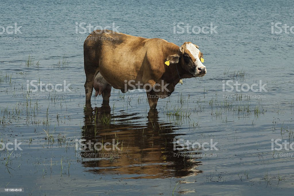 Cow in the Lake royalty-free stock photo