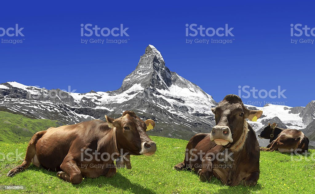 Cow in the meadow royalty-free stock photo