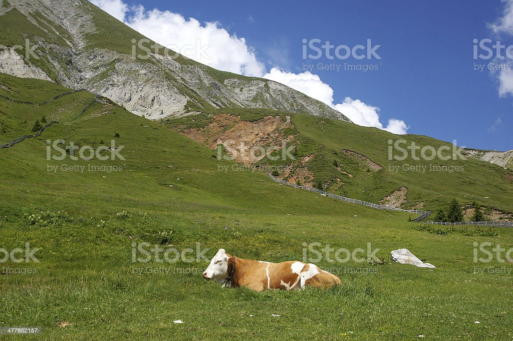 Cow in the mountain royalty-free stock photo