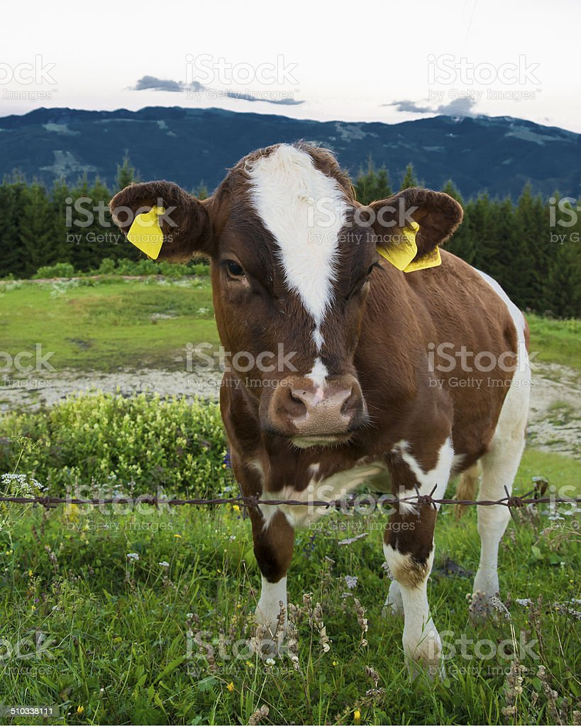 Cow in the mountain stock photo