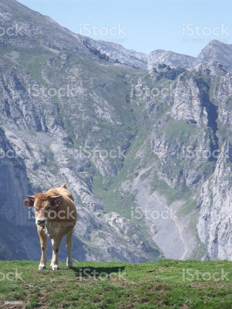 Cow in the Mountains stock photo