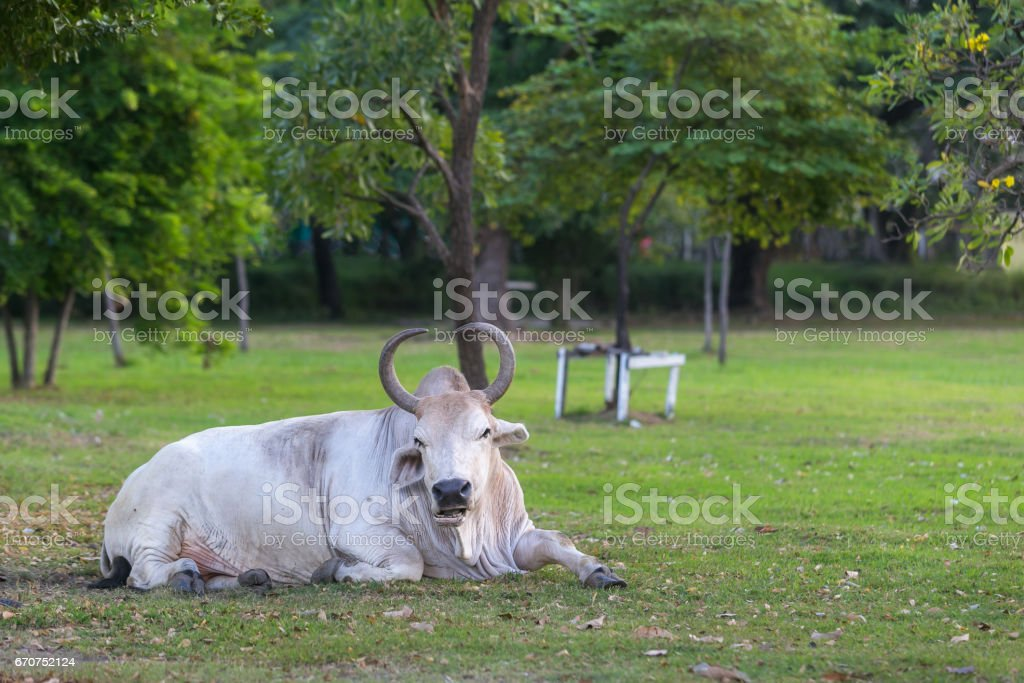 Cow in the park. stock photo