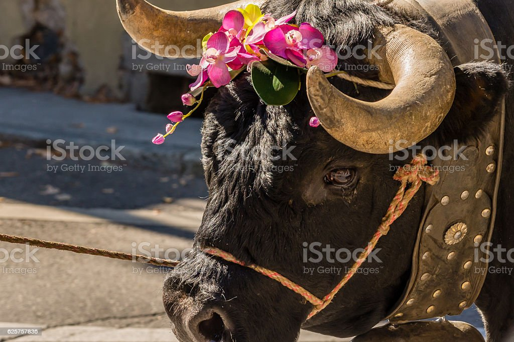 Cow in the raclette festival stock photo