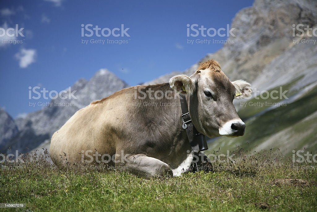 Cow in the swiss alps stock photo