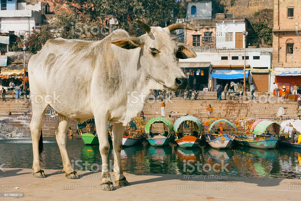 Cow in town with river and old houses, India stock photo