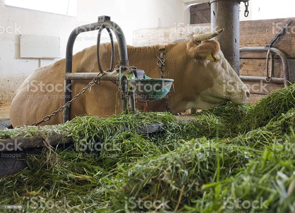 cow inside a barn royalty-free stock photo