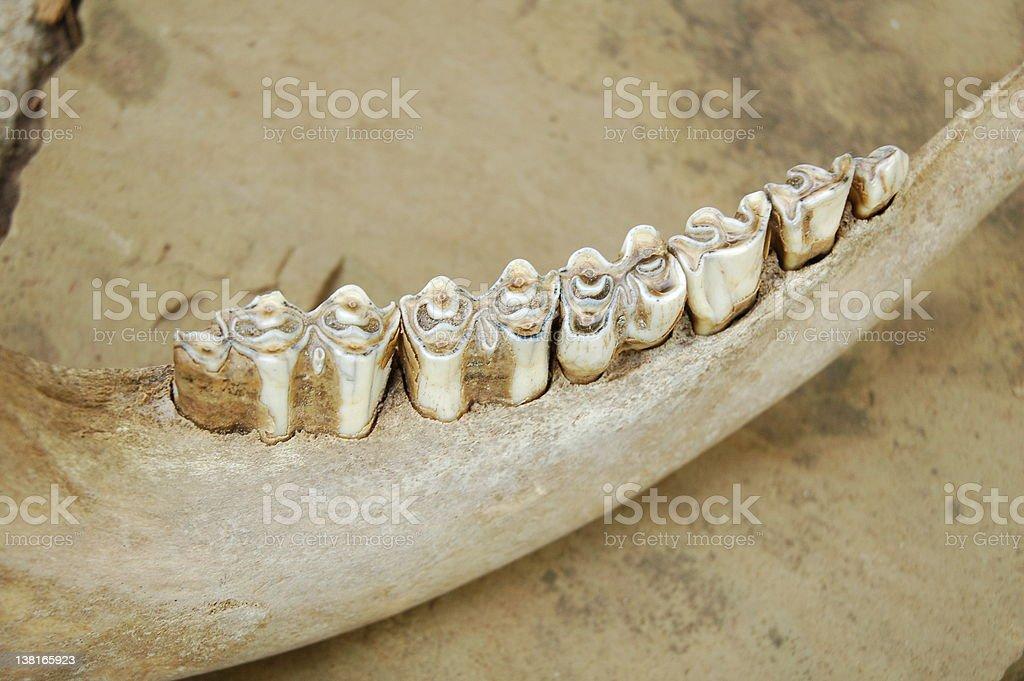 Cow Jaw Bone stock photo