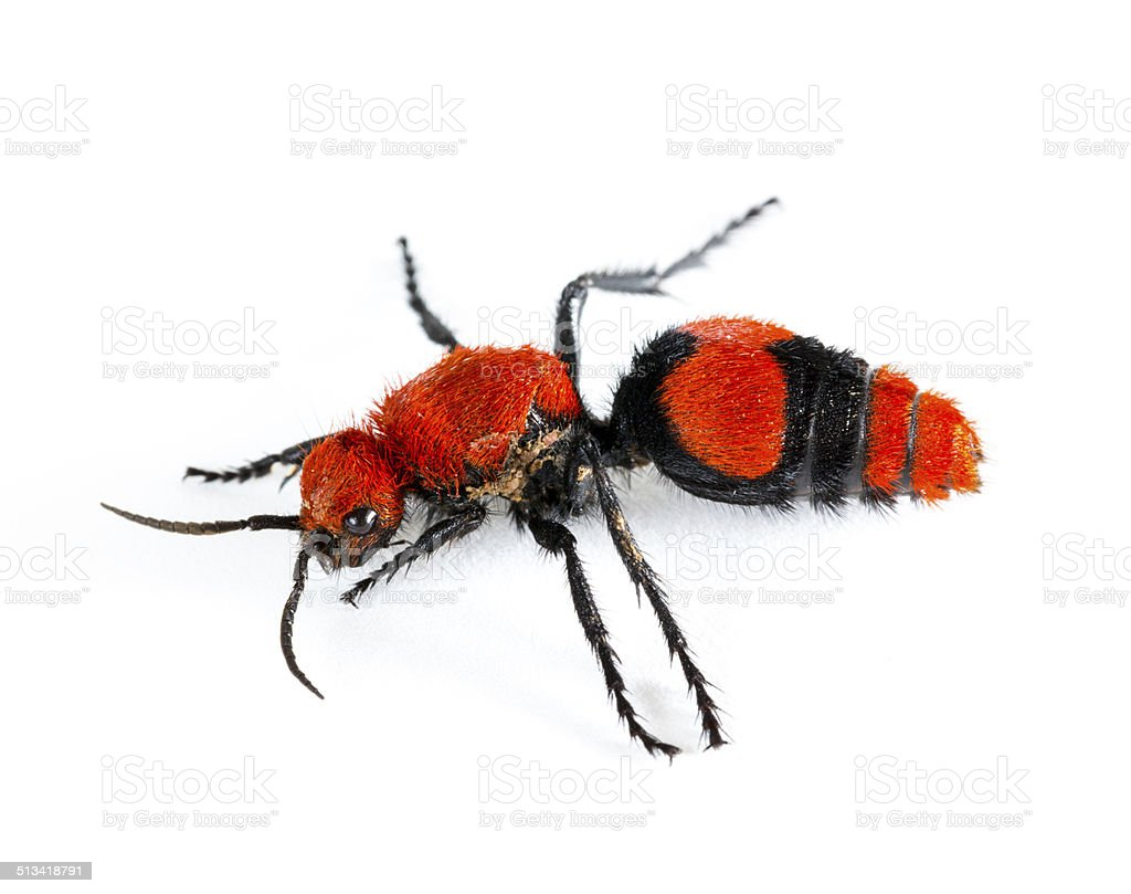 Cow Killer or Velvet ant in isolated macro stock photo