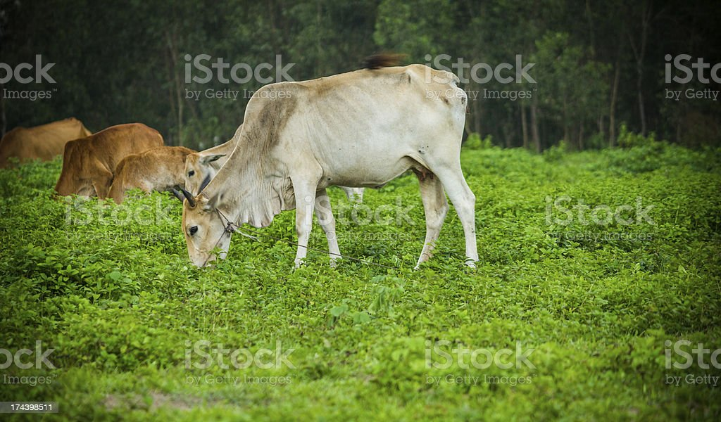 Cow Landscape royalty-free stock photo