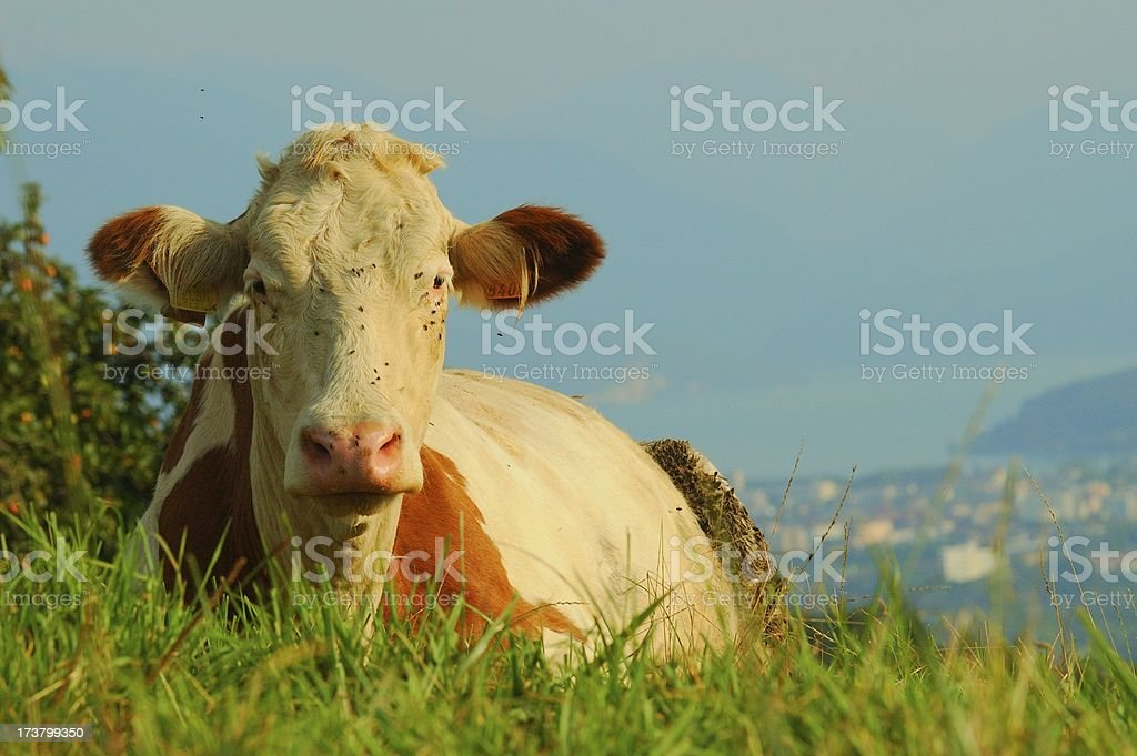 Cow laying down stock photo