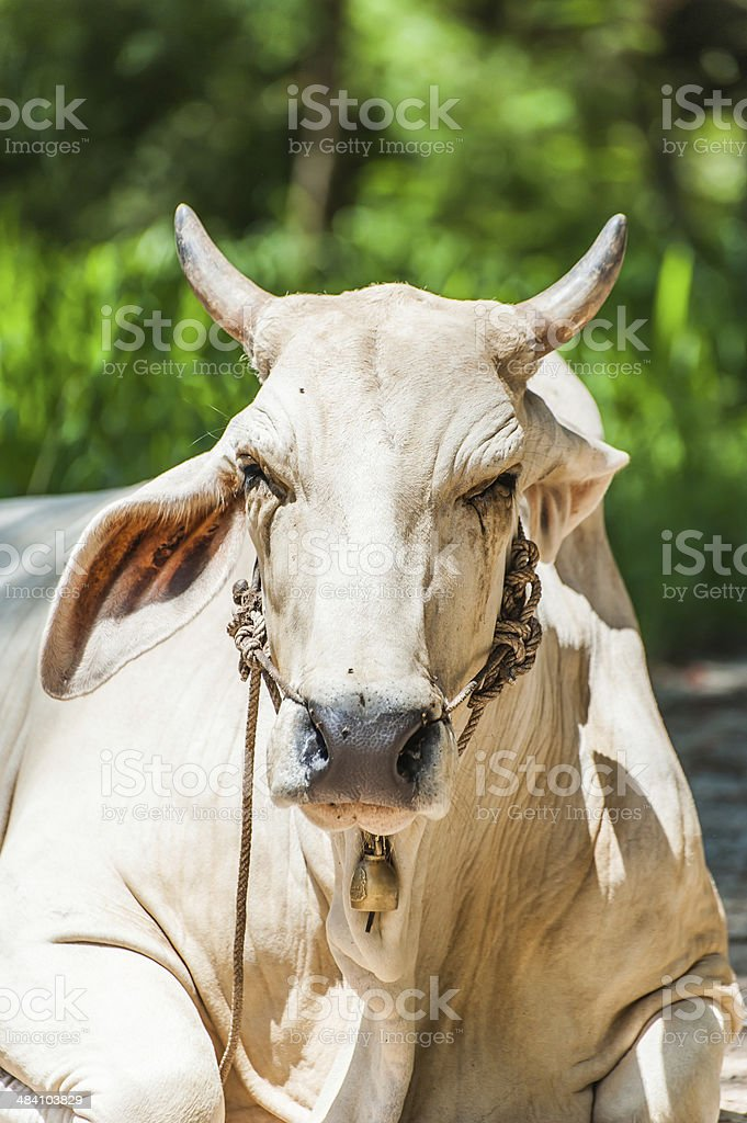 Cow laying on ground stock photo