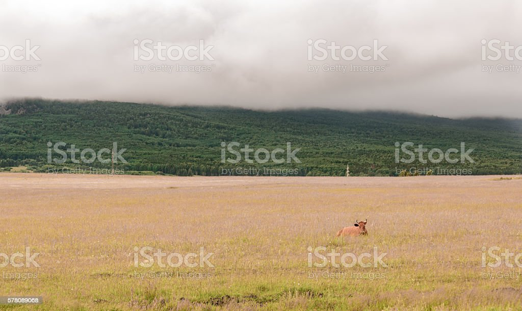 Cow lays in grass stock photo