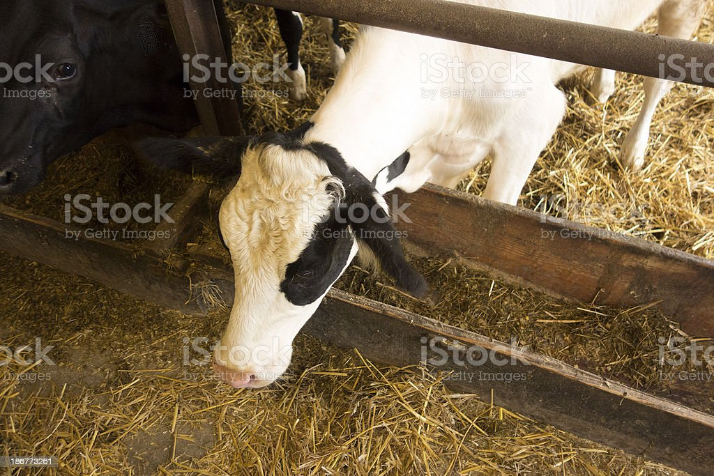 A cow leaning through a cowshed with hay. stock photo