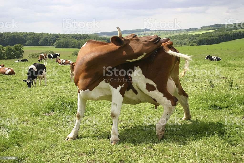 Cow licking royalty-free stock photo