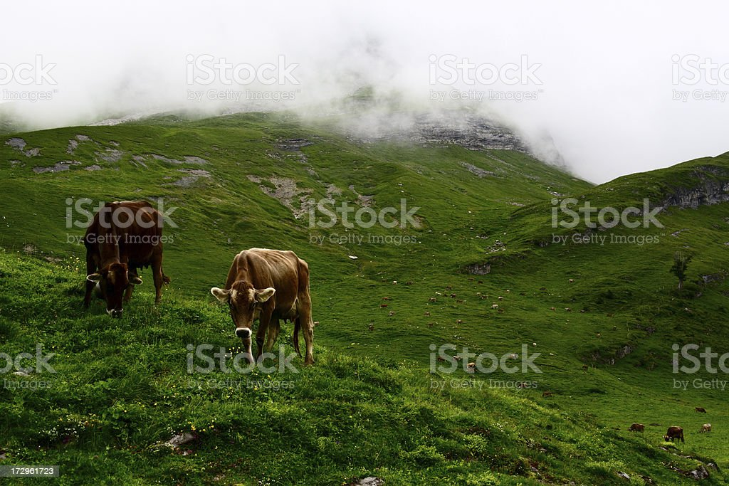 Cow Life royalty-free stock photo