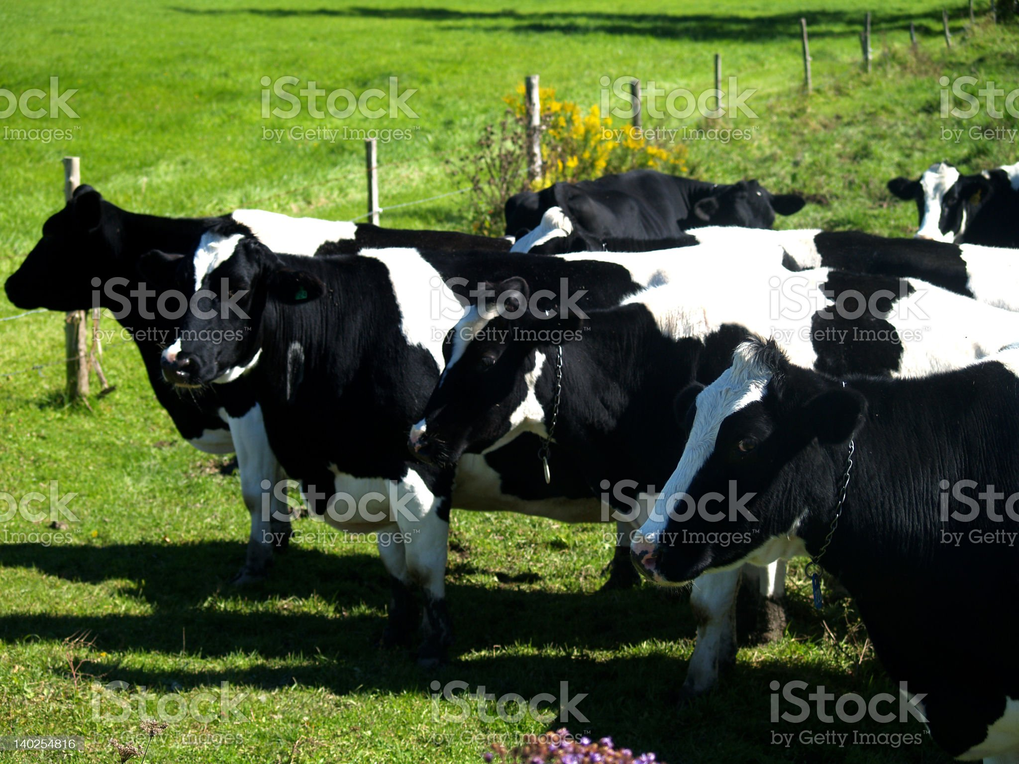 Cow line royalty-free stock photo
