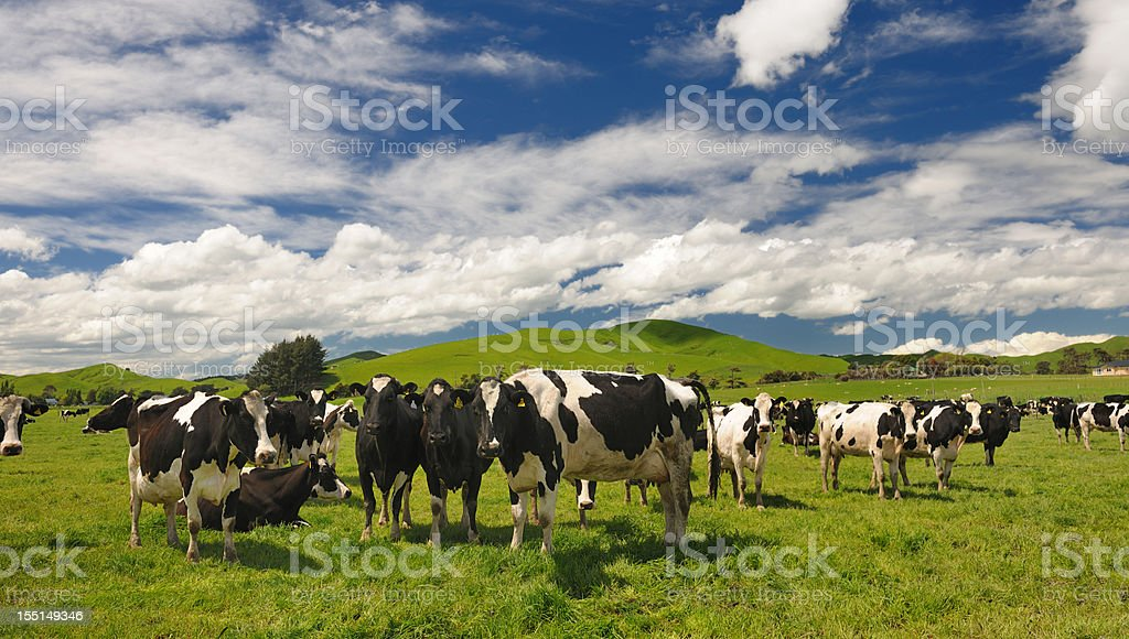 Cow Livestock, New Zealand (XXXL) stock photo