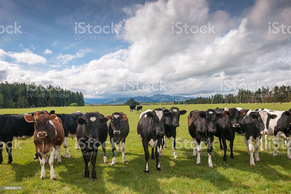 Cow Livestock stock photo