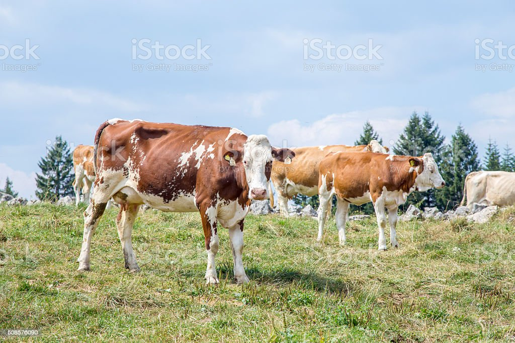 Cow looking at camera with the herd behind stock photo