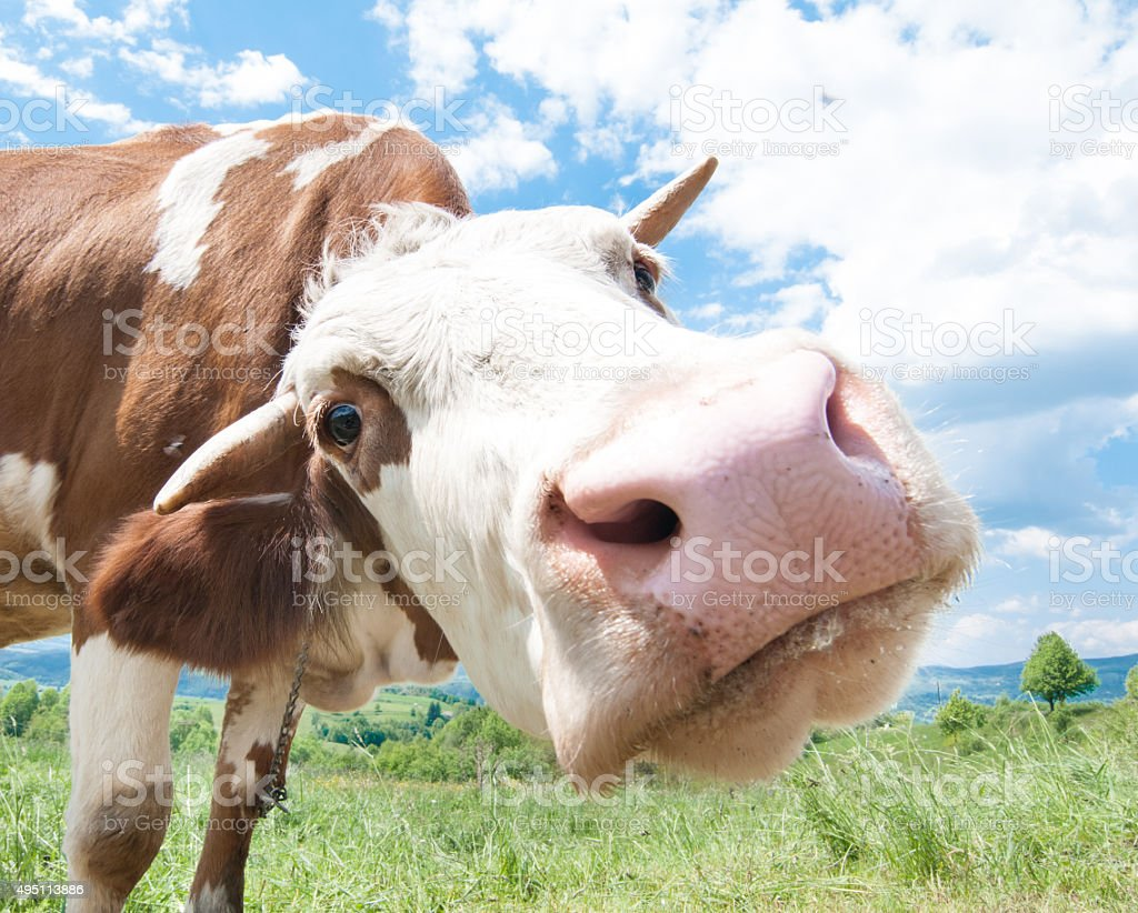 Cow lookinginto the camera stock photo