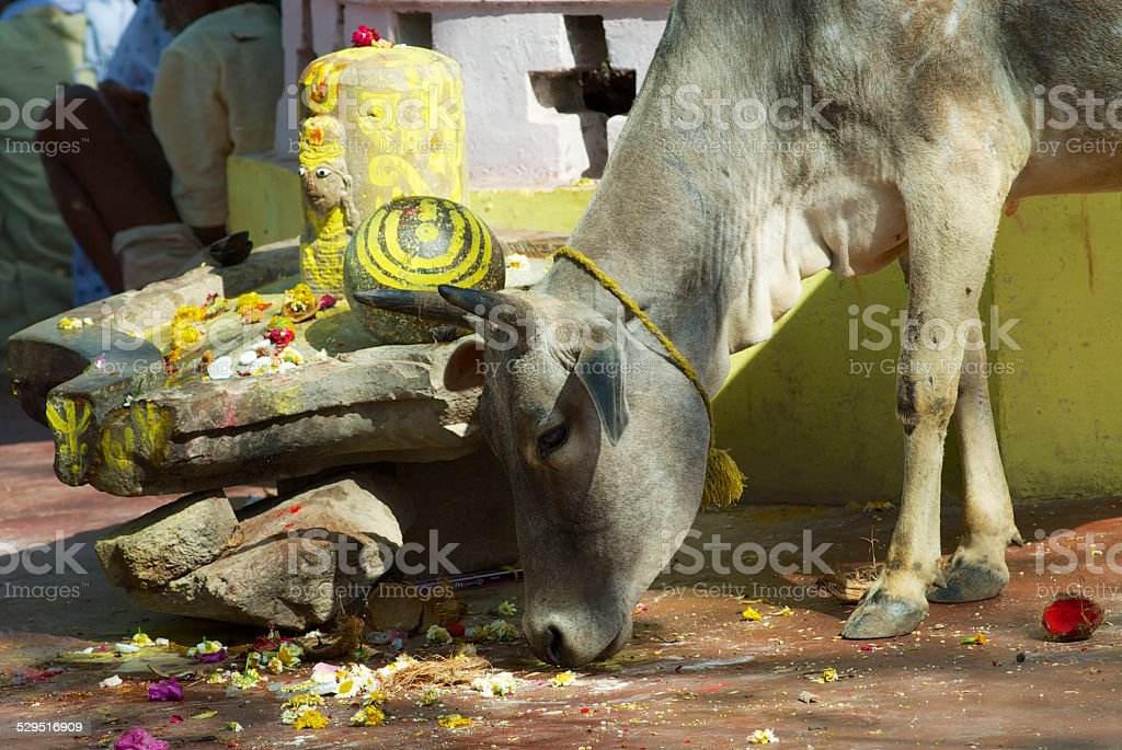 Cow looks for food in downtown Orchha, India stock photo