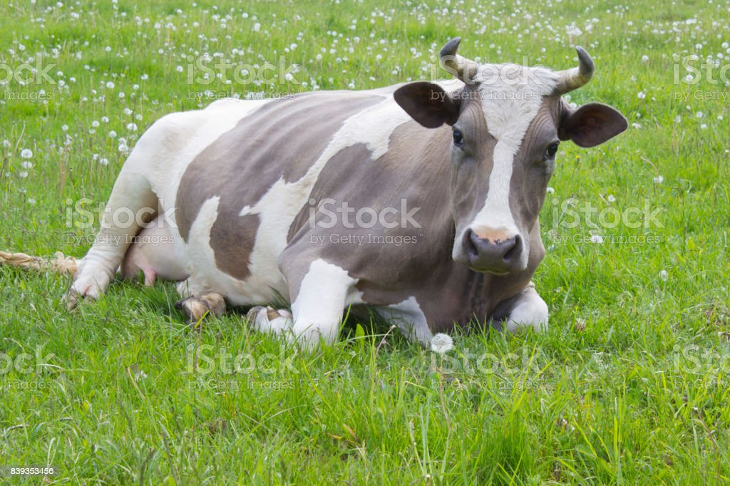 Cow lying at the  pasture,green meadow,village landscape,Ukraine stock photo
