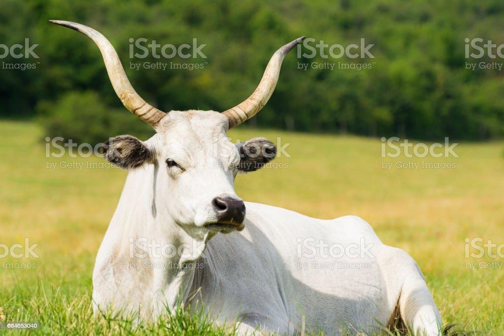 Cow Lying on Meadow stock photo