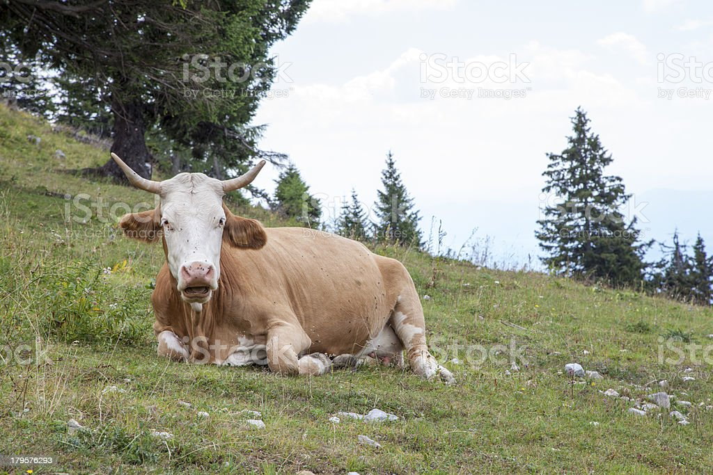 Cow lying on the mountain pasture royalty-free stock photo