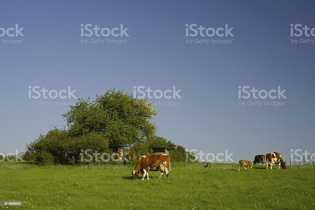 Cow meadow in the early  spring morning royalty-free stock photo