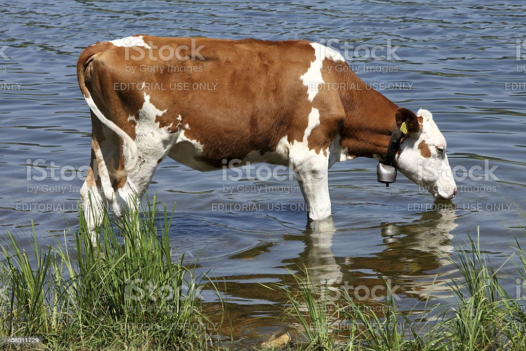 Cow Montbéliarde royalty-free stock photo