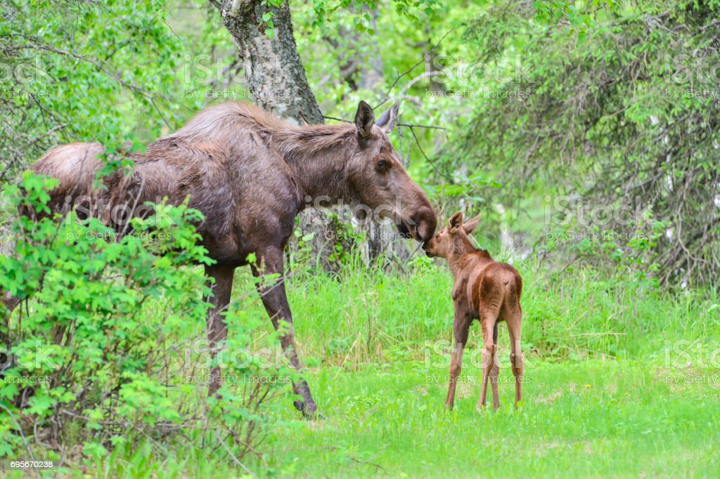 Cow Moose and Calf stock photo
