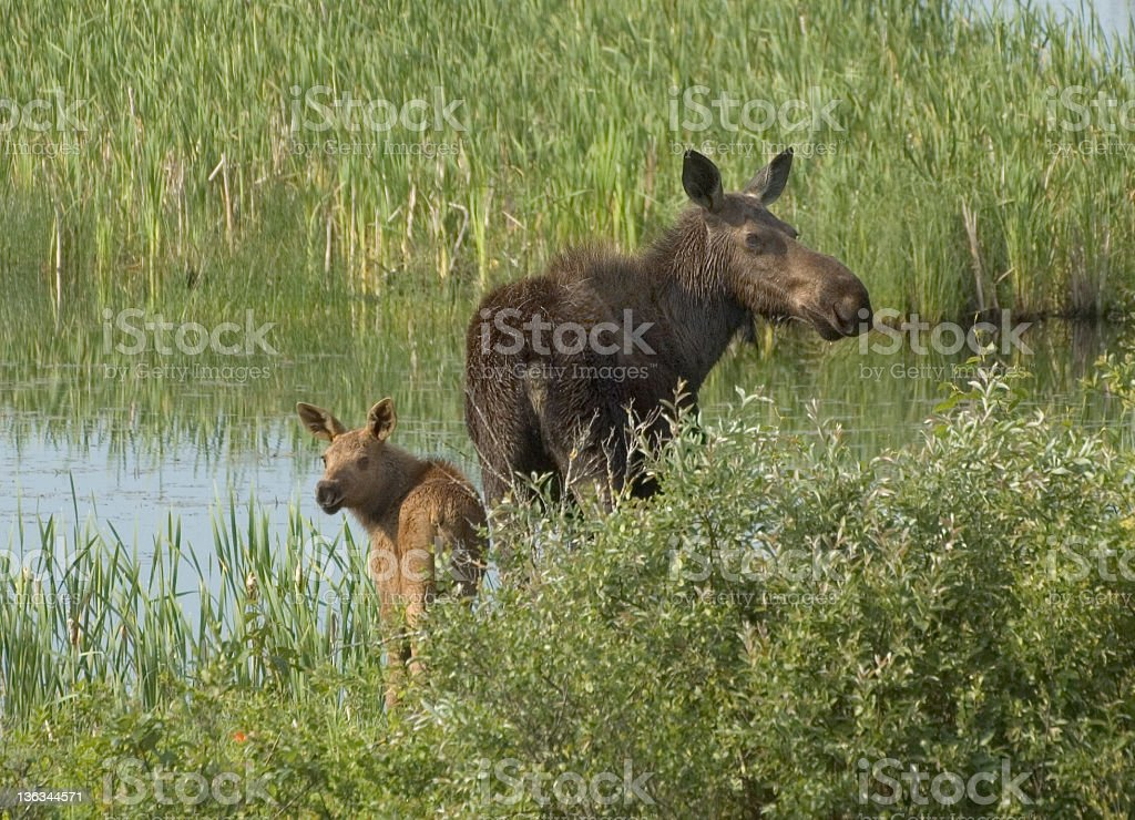 Cow Moose and Calf, Riding Mountain National Park royalty-free stock photo