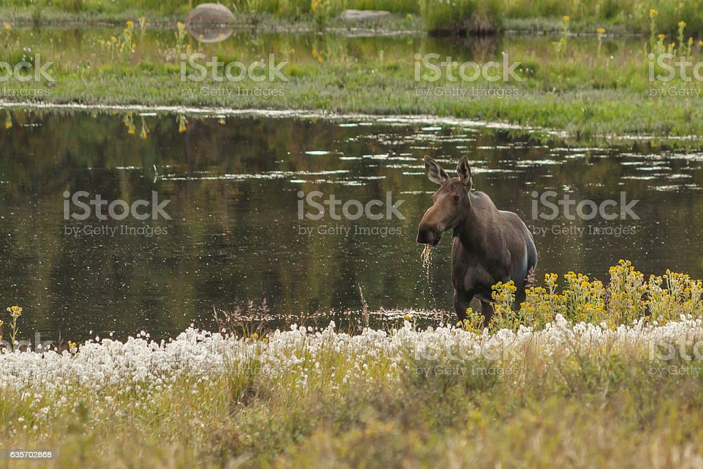 Cow moose feeding in a kettle pond, Denali National Park. stock photo