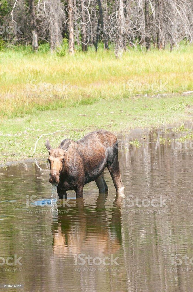 Cow Moose feeding in pond stock photo
