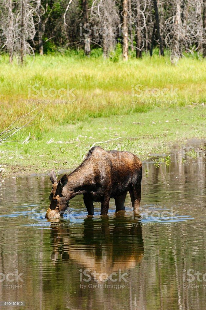 Cow Moose feeding stock photo