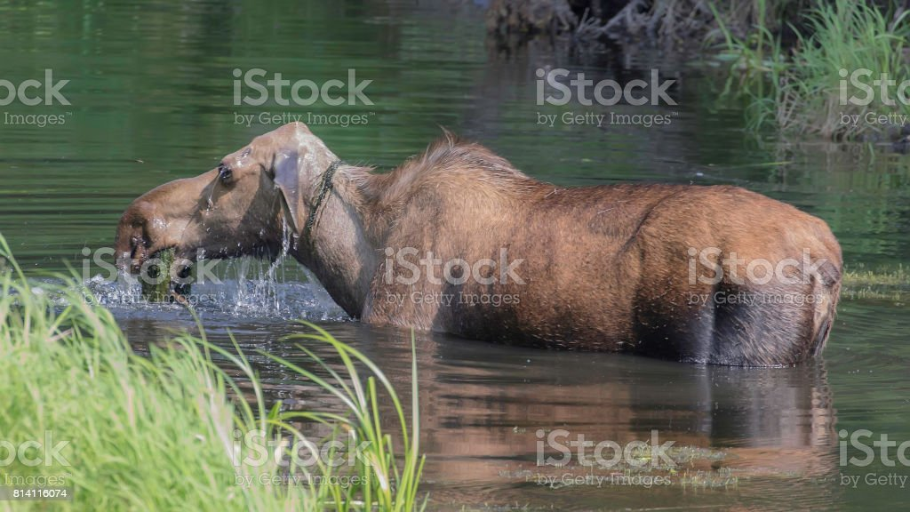 Cow Moose in Alaska stock photo